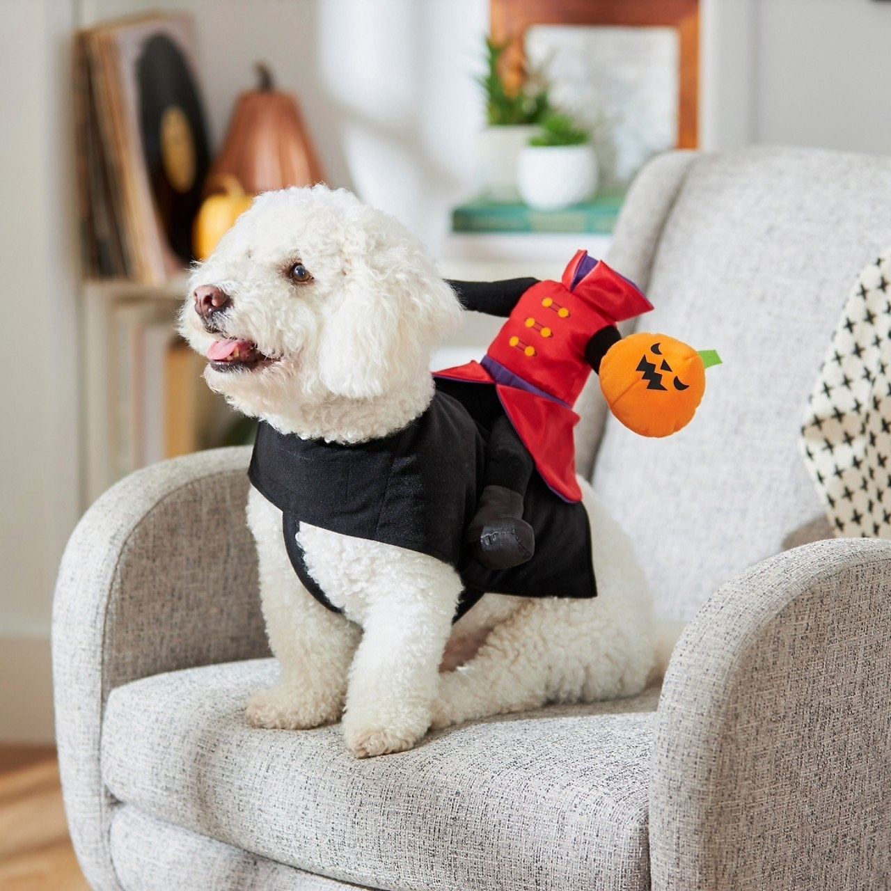 a small dog wearing a black vest to showcase a headless horseman rider on its back