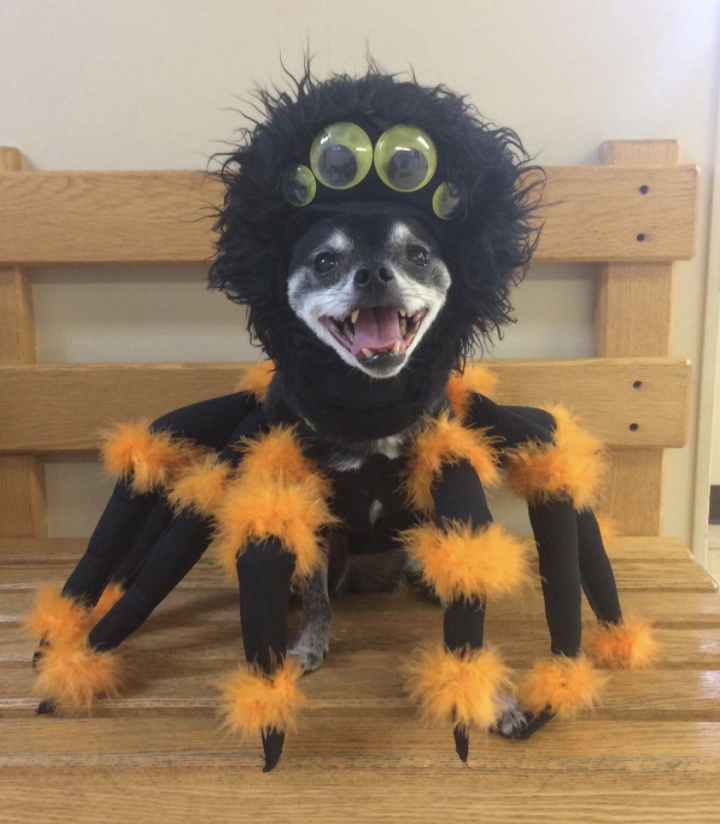 a reviewer's dog smiling while dressed up as a furry orange and black spider