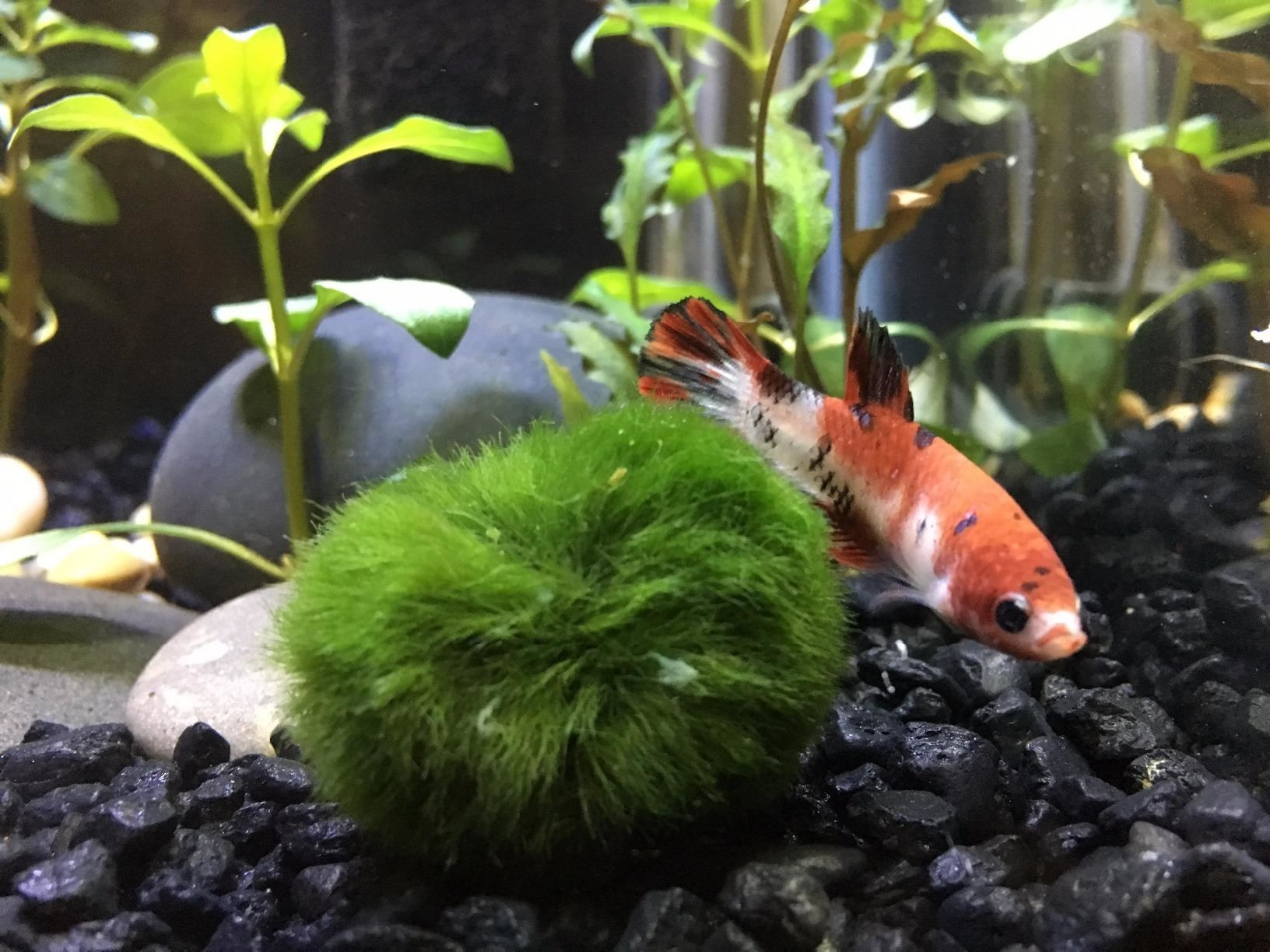 Reviewer's fish swims around one of the moss balls inside a fish tank