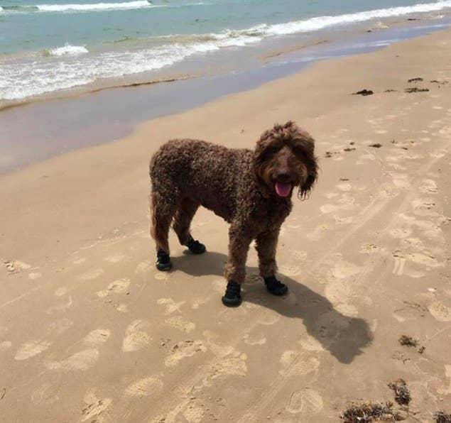 dog wearing dog booties on the beach