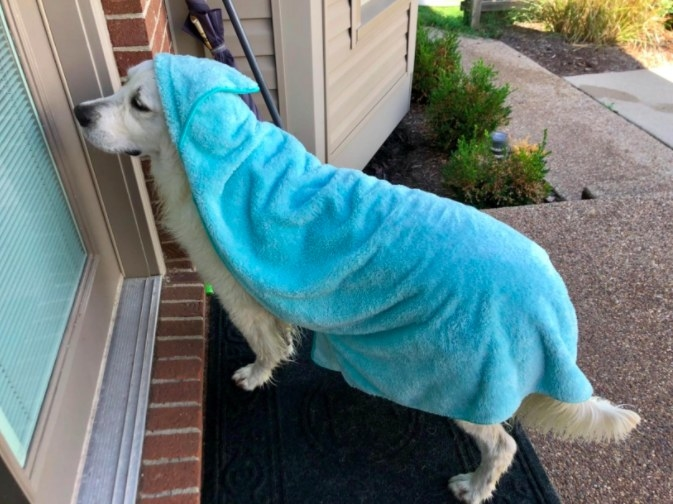 a dog at a door with a blue hooded towel on