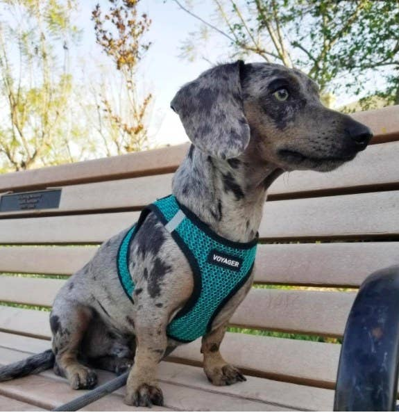 reviewer photo of a dachshund wearing a teal harness and sitting on a park bench