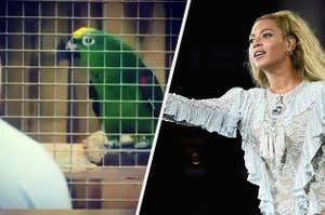 Side by side of Chico the parrot and Beyoncé