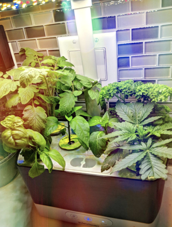 a reviewer's indoor aerogarden filled with grown plants