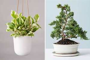 A hanging plant and a bonsai tree