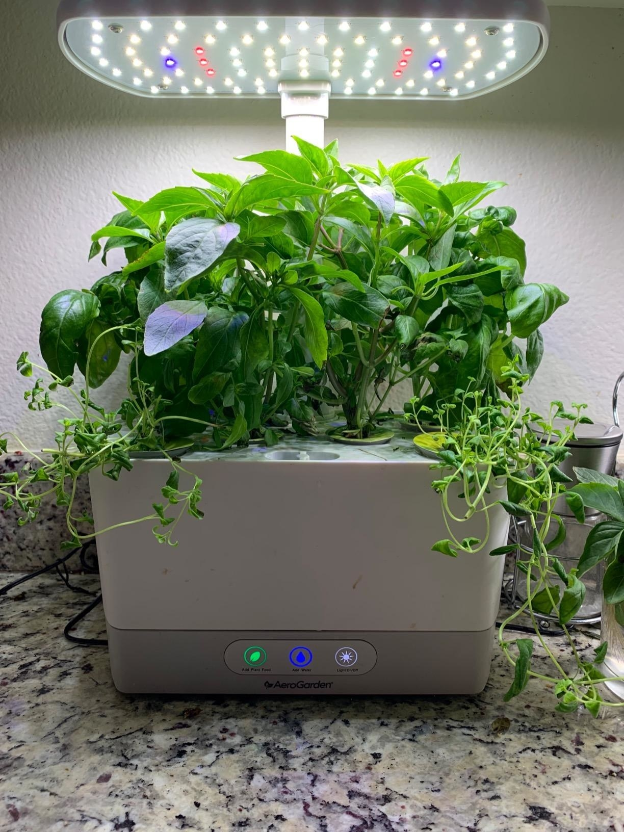 reviewer's white electric planter with various tall herbs growing in it under LED lights
