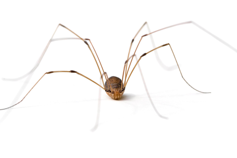 A daddy long legs spider