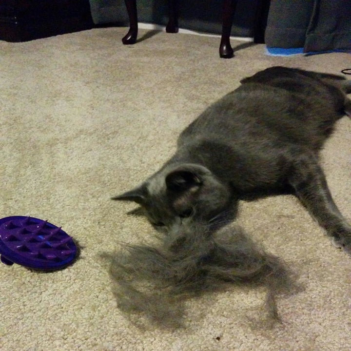 A cat with the purple palm-sized brush an a pile of fur larger than his head that's come off him