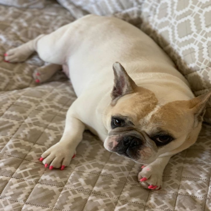 A Frenchie with a fabulous pink pedi