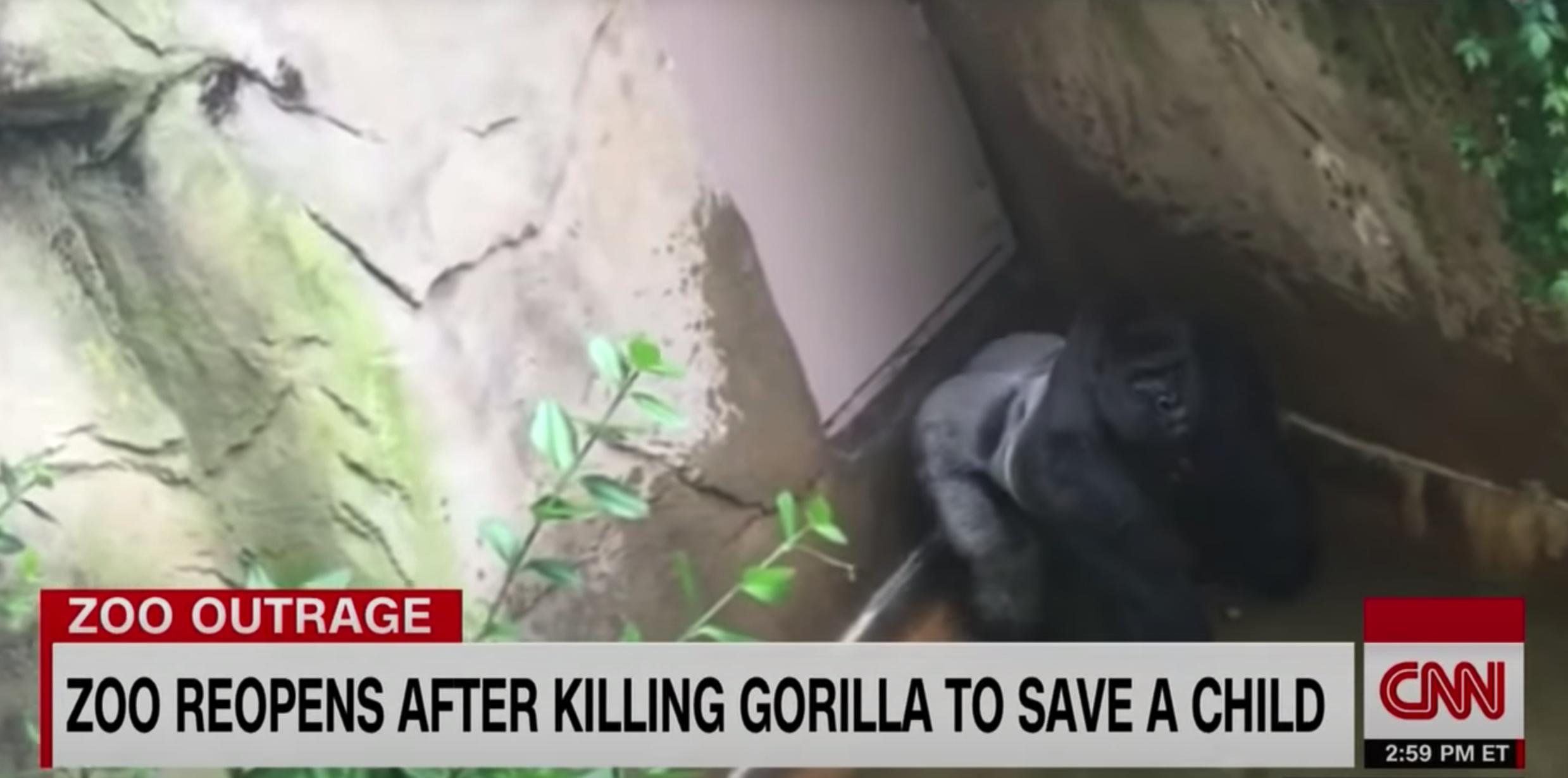 A news clip of Harambe in captivity