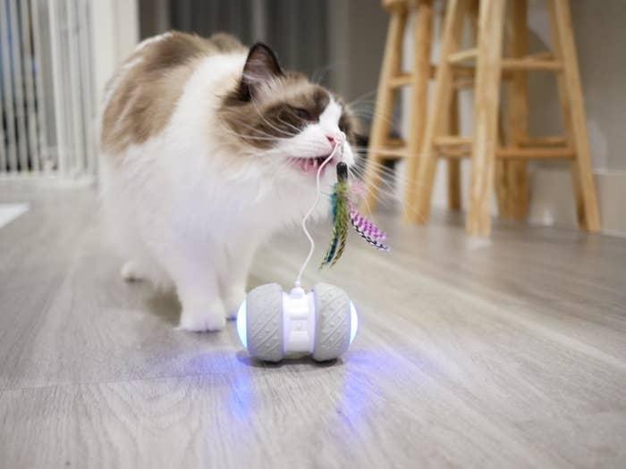 A cat biting at the feather attachment on the antenna sticking up from the two light-up wheels