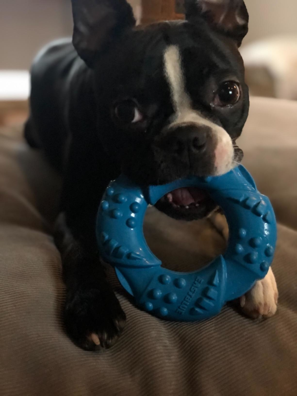 A black and white Boston terrier with the blue textured ring in its mouth