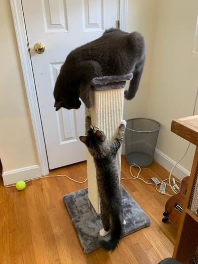 Two cats play with a customer's Frisco 33.5-in Sisal Cat Scratching Post