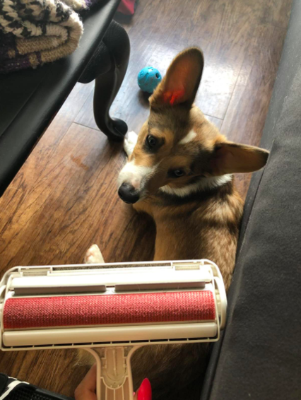 a reviewer photo of a corgi and the roller