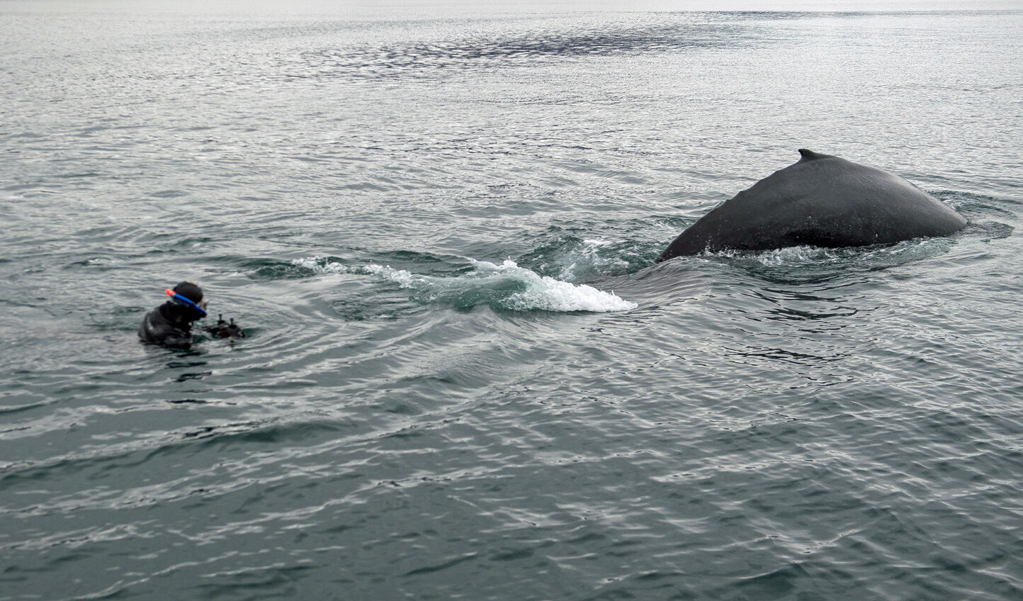 A person in the water with a snorkel about 6 feet from a whale