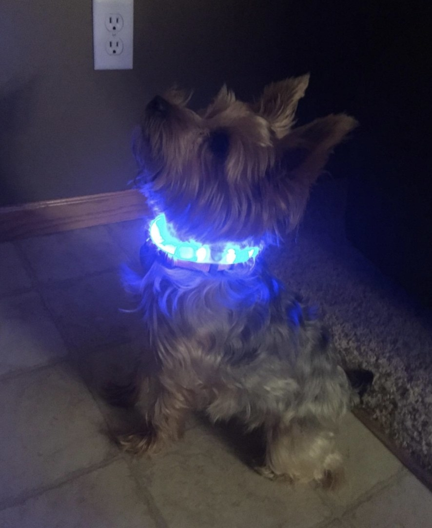 A Yorkie is sitting with a light-up blue collar around its neck