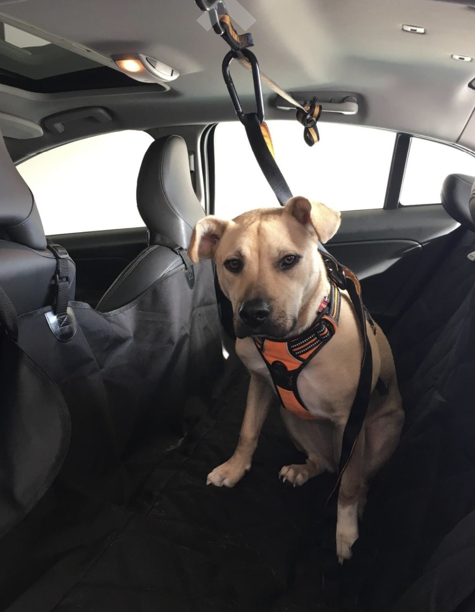 A yellow dog sits in the backseat of a car with a zipline leash attached to them