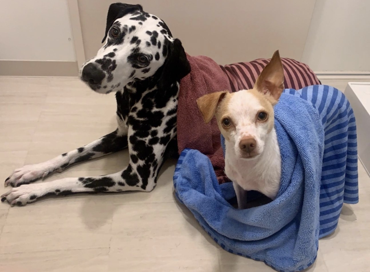 A small dog stands next to a Dalmation with towels on each of them after a bath