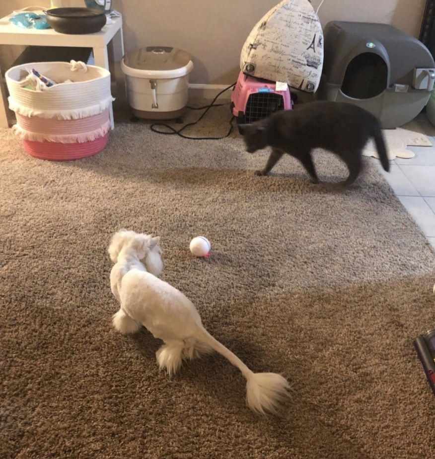 A white cat and a grey cat are both playing with a white self-rotating ball