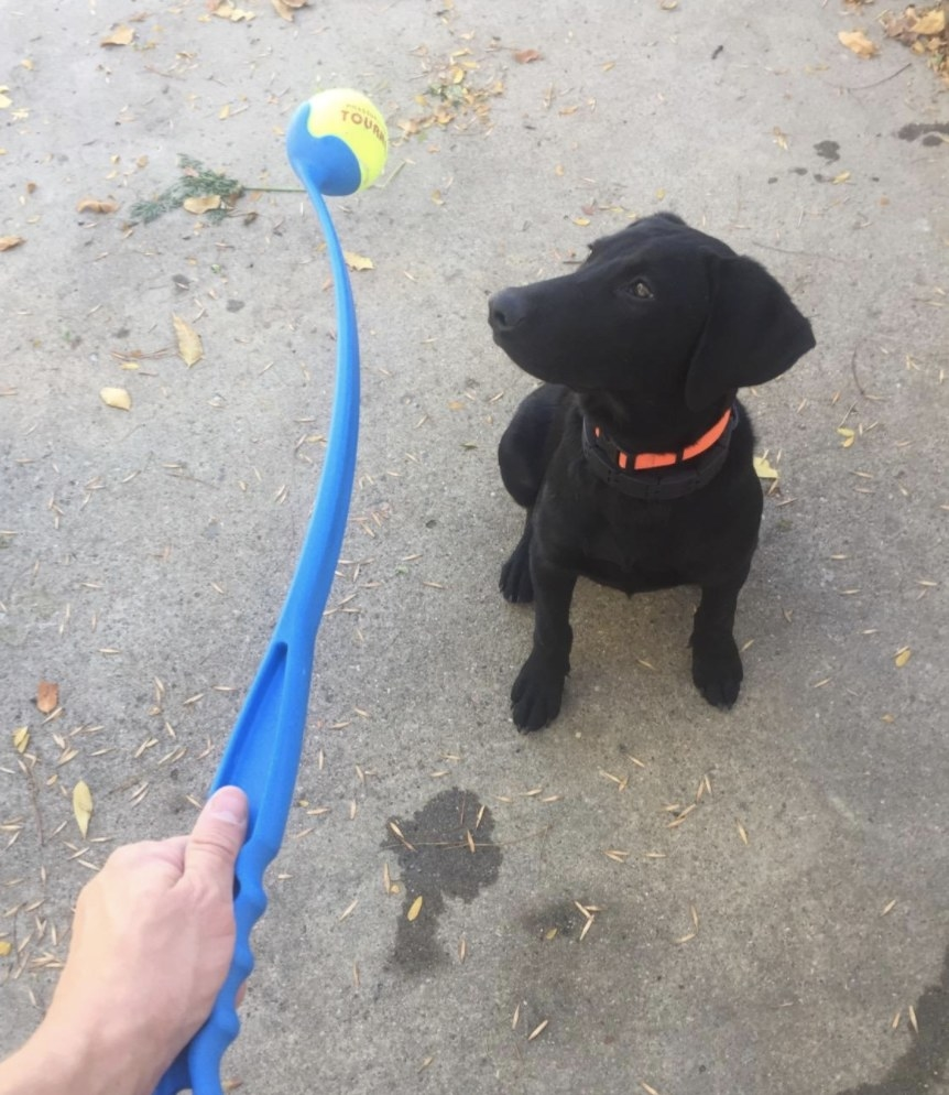 A black lab puppy stares at a ChuckIt ball launcher