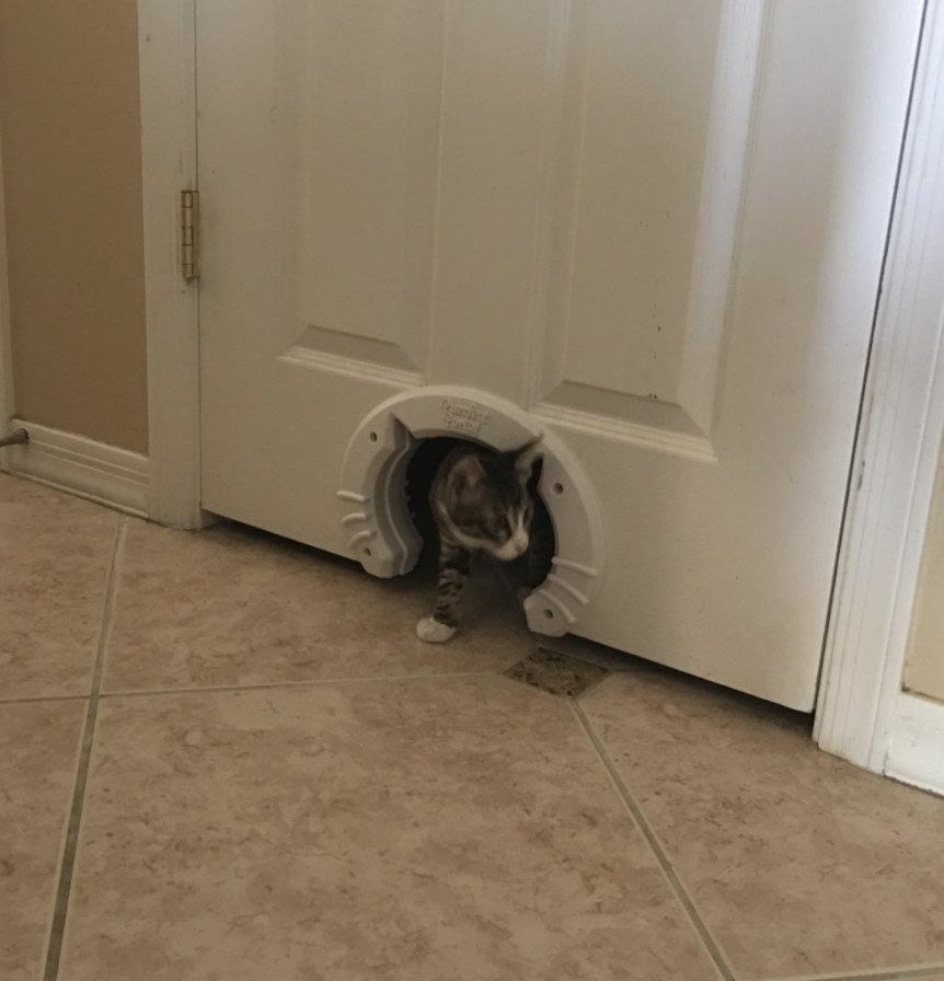 A small cat is walking through a pet door