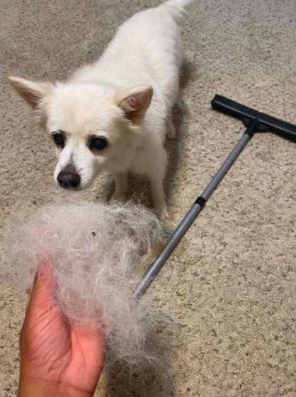 Reviewer holds clump of white dog fur scooped up from carpet by broom