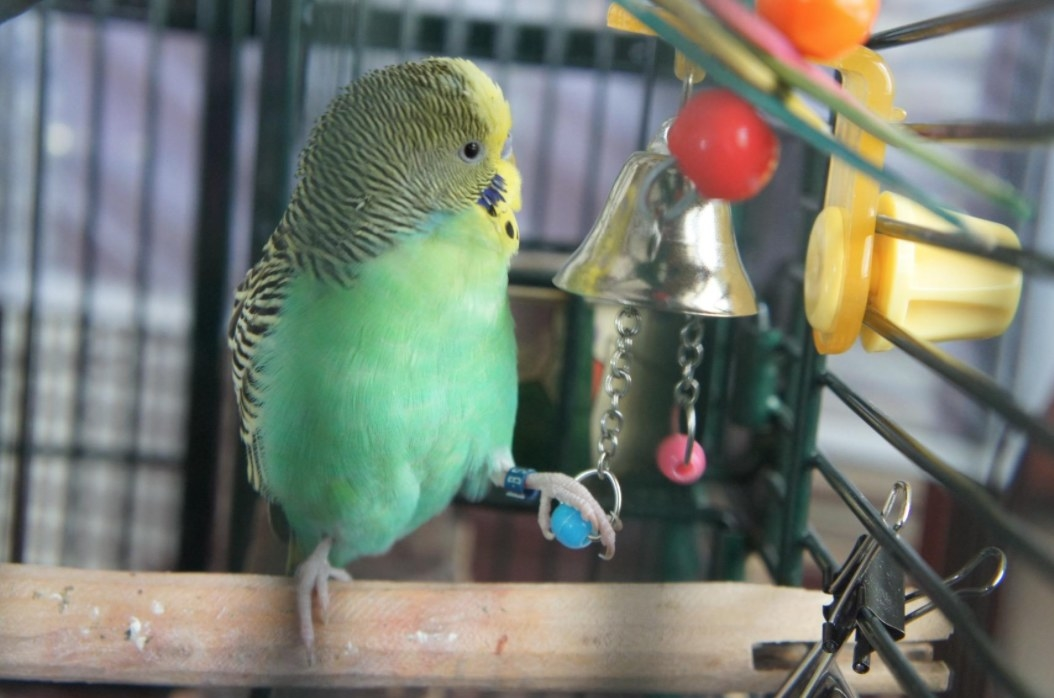 A green parakeet pulls on a bell's chain to ring it in its cage