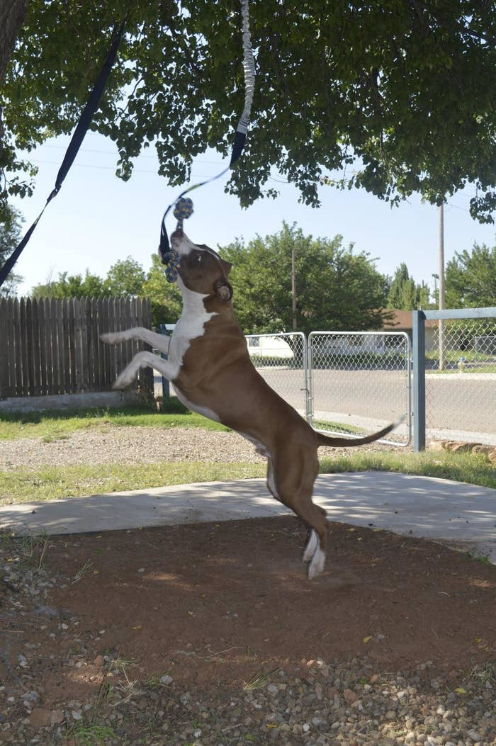 A dog is jumping up, biting at the bungee toy, which is dangling from the tree where it is mounted