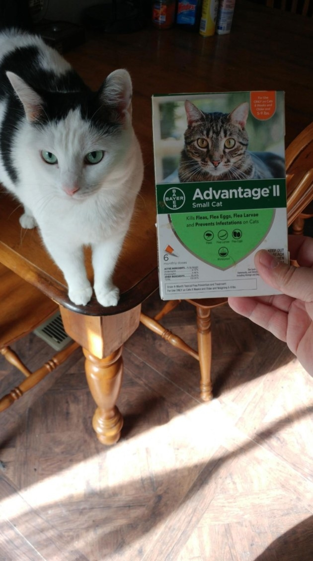 The reviewer's cat with tge flea prevention six dose pack