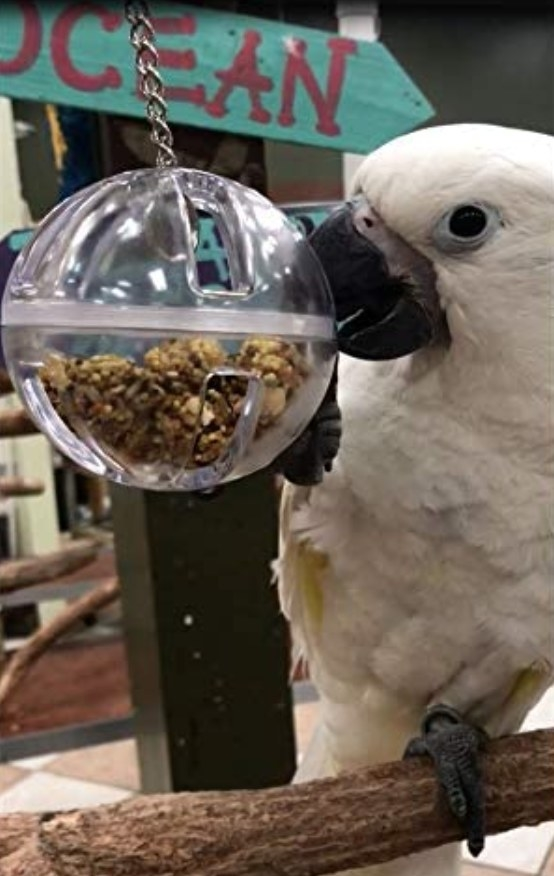 A cockatoo pecks at a clear plastic dangling ball with food inside