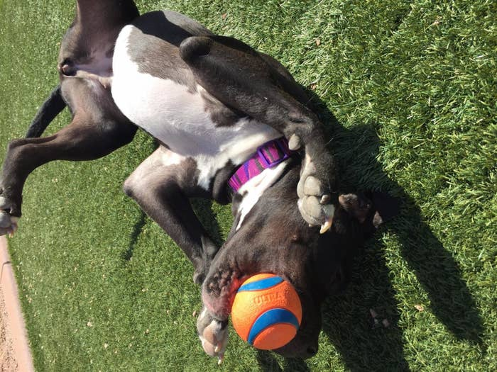 A pit bull chewing on the ball
