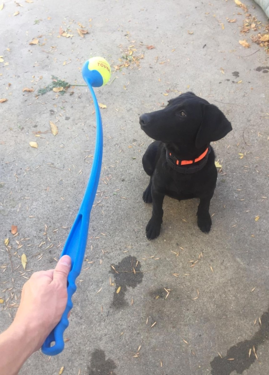 A reviewer's image of their dog with ball launcher classic in medium blue