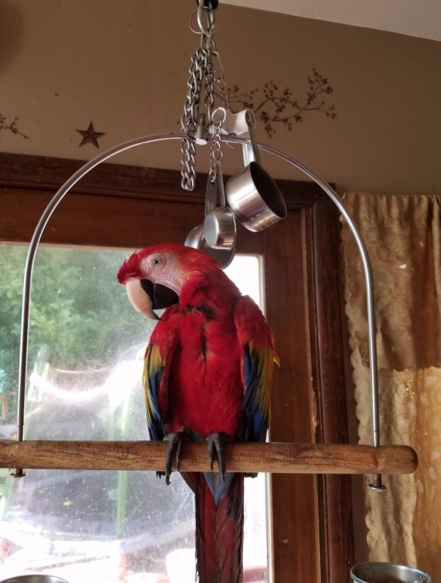 A scarlet macaw sits on a perch below a dangling metal toy