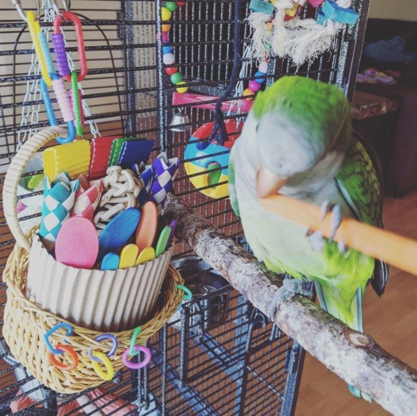 A green parrot sits on a perch next to a hanging basket of toys.