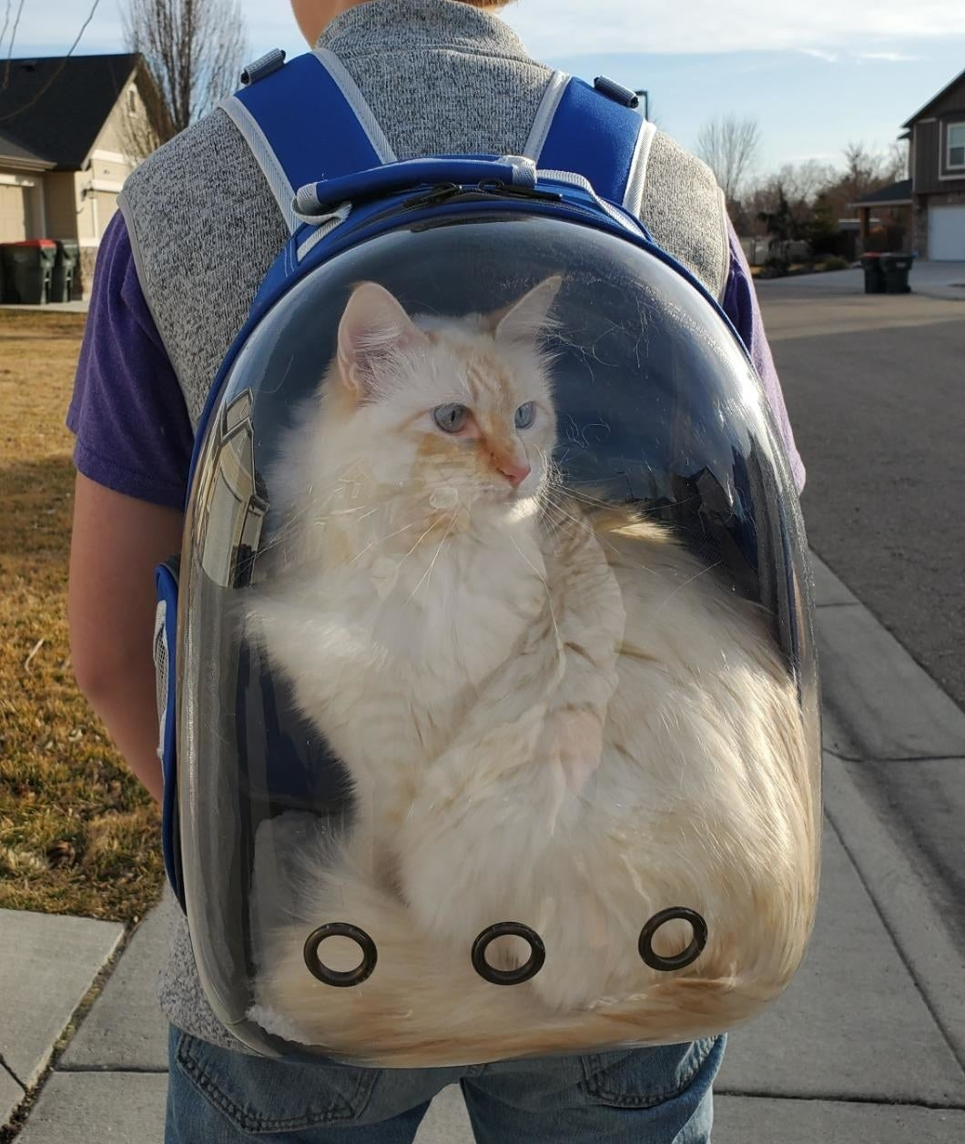 Fluffy white cat in the clear backpack