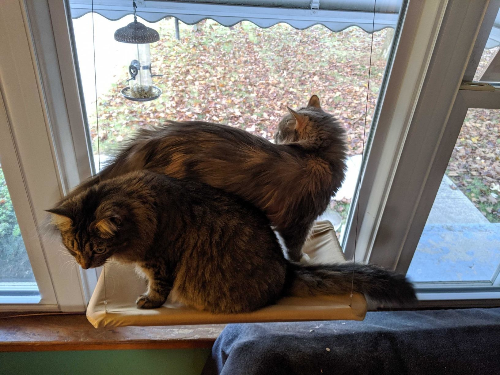 Two cats on the hammock, which is suctioned to the window