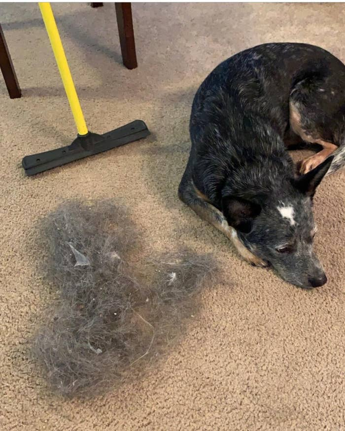 A dog laying beside a clump of his fur picked up from the carpet by the broom