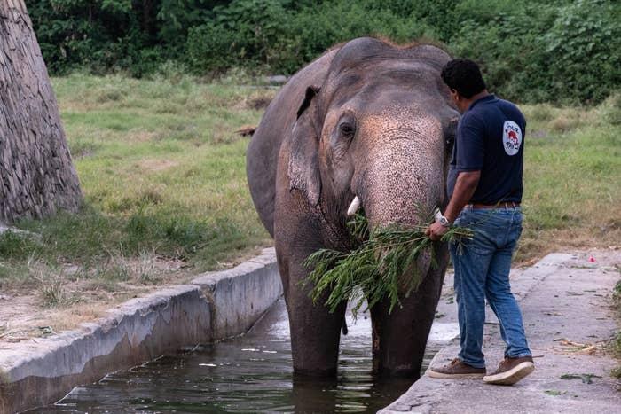 Image of Kaavan the elephant at Marghazar Zoo in Islamabad, Pakistan. being fed by veterinarian.