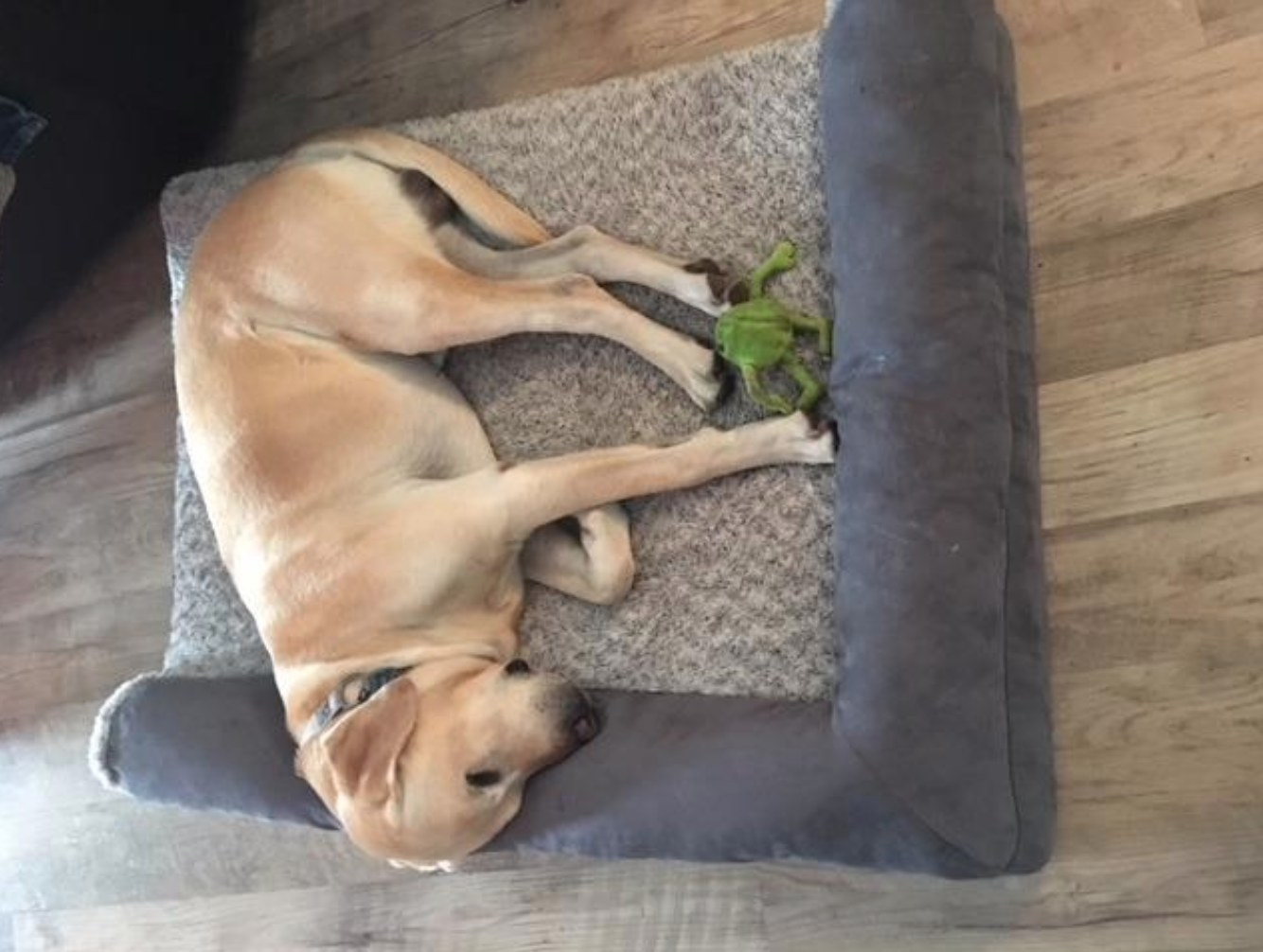 A reviewer's photo of their dog on the orthopedic plush sofa