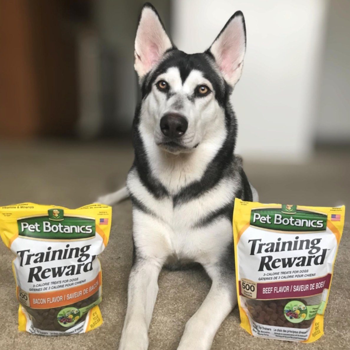 A reviewer's image of their Husky with the training reward treats