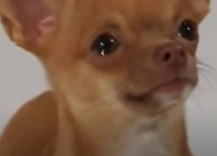 A chihuahua tearing up