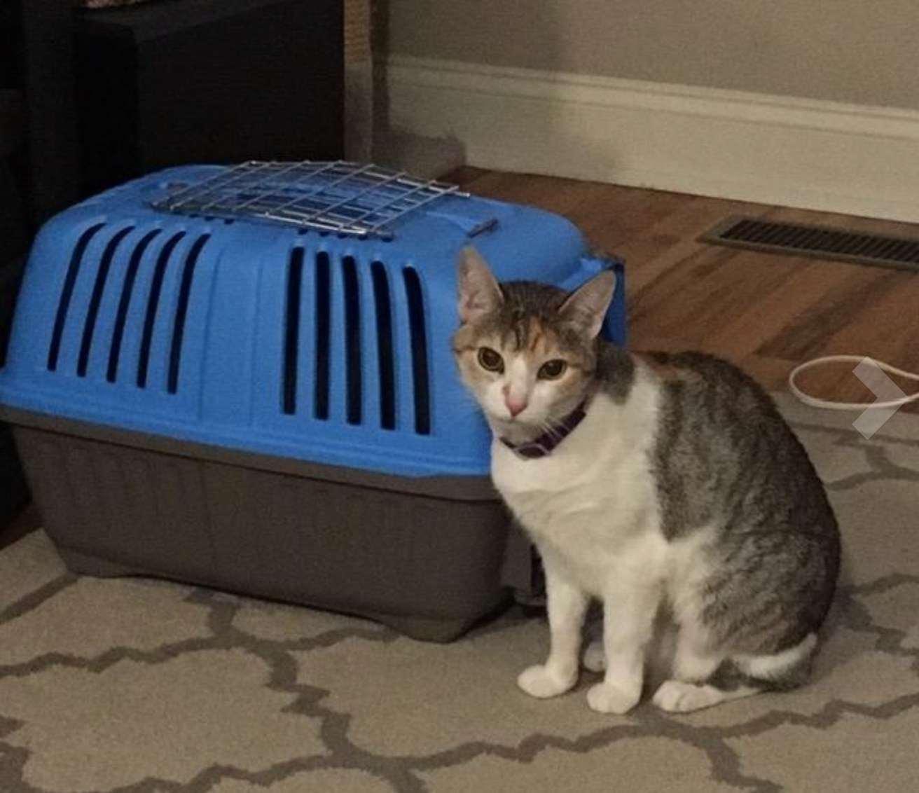 A reviewer's image of their cat with the blue and gray pet carrier