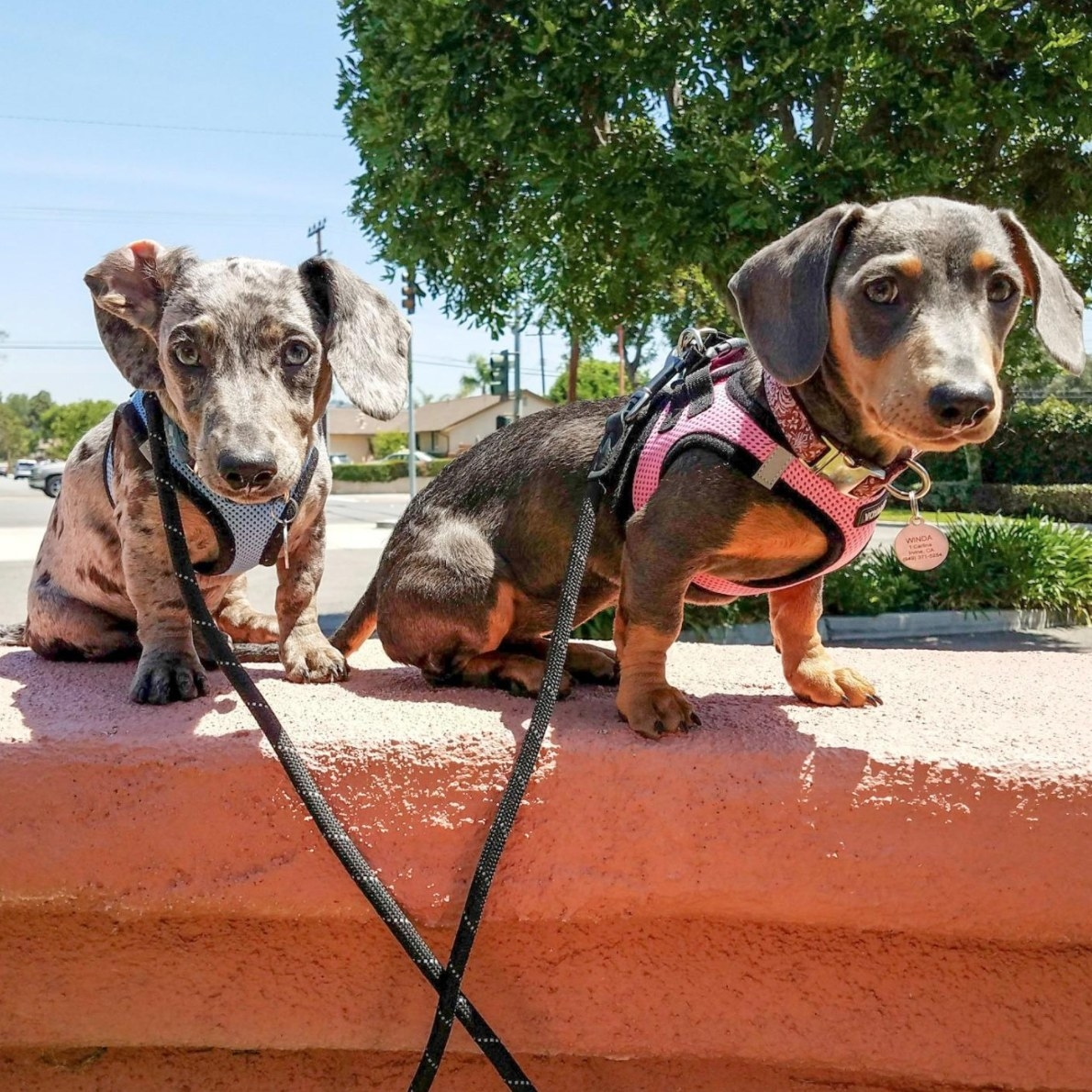 A reviewer's image of their dogs in the harnesses