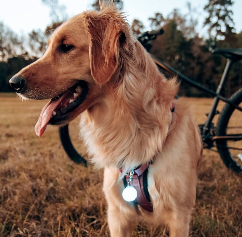 A golden retriever with the collar charm attached to its harness