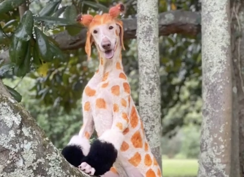 A dog that has been painted with spots to look like a giraffe