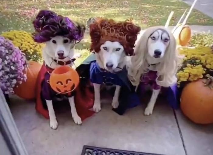 Three husky dogs dressed as the witches from Hocus Pocus