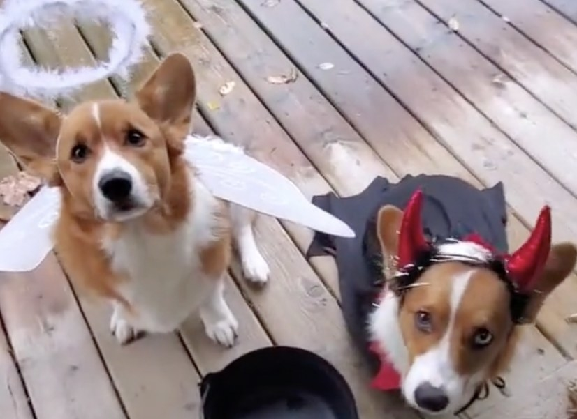 Corgi dogs dressed as an angel and a devil
