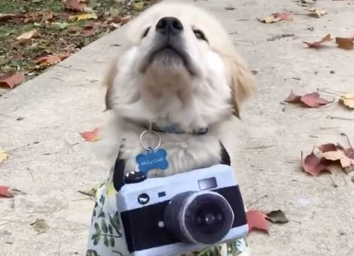 A Labrador Retriever puppy wearing a camera and Hawaiian shirt