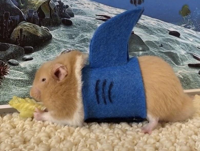A tiny hamster wearing a felt shark costume