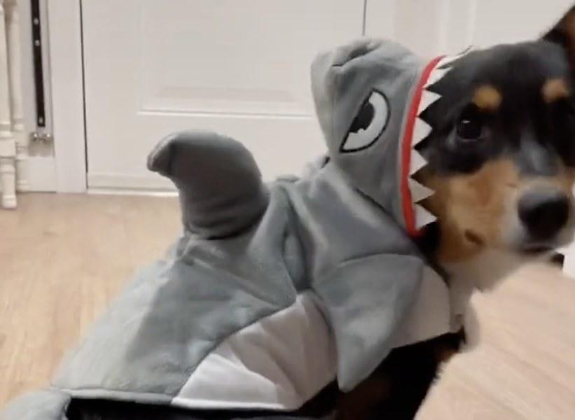 A corgi dog wearing a shark costume